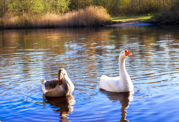 Two wild goose on the lake in the water