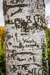 Noms gravés dans l'écorce du peuplier blanc