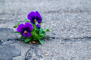 Pansy flower blooming in a small crack of a road.