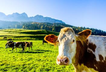 Fond de hotte en verre imprimé Vache funny cow