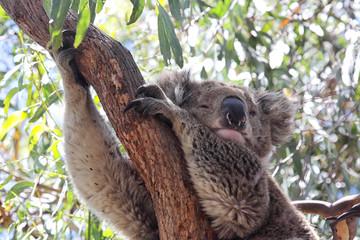 Ein Koala (Phascolarctos cinereus) sitzt auf einem Eukalyptus-Baum auf Raymond Island im Lake King, Victoria, Australien.