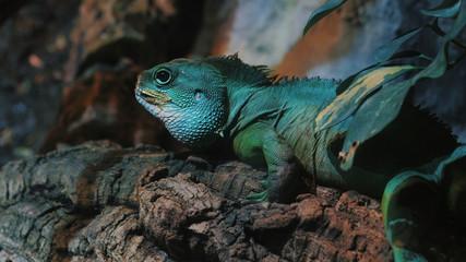Sleeping dragon - Close-up portrait of a resting on branch green colored Beautiful Iguana Lizard Terrarium In Barcelona Aquarium.