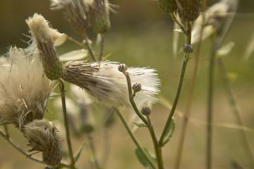 Detail white filament flower