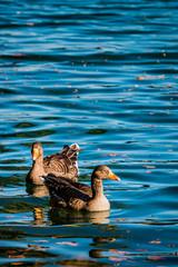 Les oies cendrées du lac du Parc de la Tête d'Or en automne à Lyon