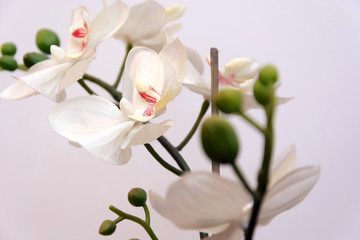 white orchid isolated