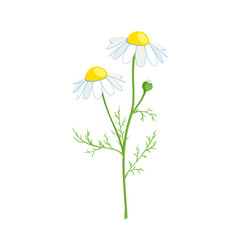 Chamomile stem with leaves and flowers. Vector illustration cartoon flat icon isolated on white.