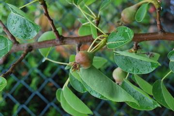 Kleine Birnen - Birnenbaum (Pyrus) - Säulenobst - nach Regenschauer