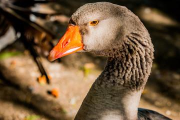 Oie cendrée du lac du Parc de la Tête d'Or