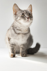 A small short-haired gray six-month-old kitten. Grey cute cat on white background.