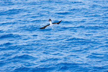 Sea birds hunting flying fish. Pacific, Mexican coast