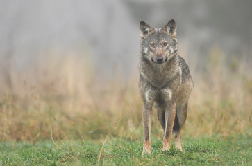 Photo sur Toile Loup Gray wolf (Canis lupus)