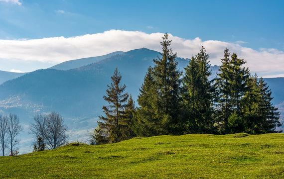 spruce tree on grassy hillside. beautiful landscape in mountains