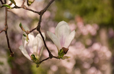 two magnolia flowers in the backyard. beautiful spring blossom background with bokeh effect