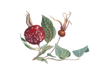 The branch of wild rose with two dry berries. Watercolor illustration