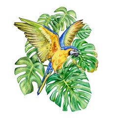 Macaw Blue-and-yellow and Green monstera leaf isolated on white background. Golden-blue parrot. Hand painted watercolor illustration. Realistic botanical art. TemplateHippop