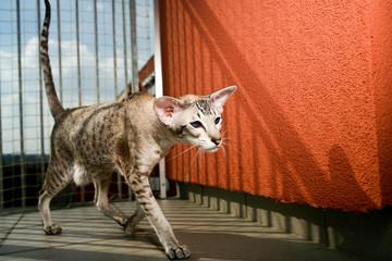 "siamese cat Friedrich"" walking around""""iamese cat ""Friedrich"" wa""""amese cat ""Fr""""me"""