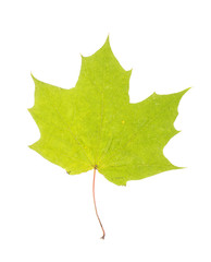 One autumn maple leaf isolated on whit