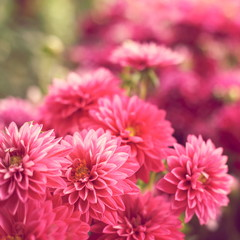 Soft pink dahlias
