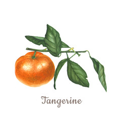 Botanical watercolor illustration of orange tangerine mandarin isolated on white background