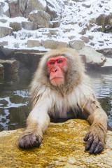 Young Japanese macaque (Macaca fuscata) / Snow monkey soaking in hot thermal spring pool, Joshin-etsu National Park, Honshu, Japan