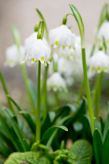 Nature in Spring: Blossoming galanthus flowers