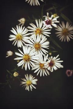 White Aster flowers on dark background