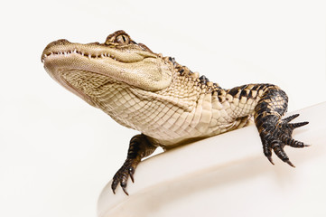 Studio Shot of  an Alligator in a Bathtub