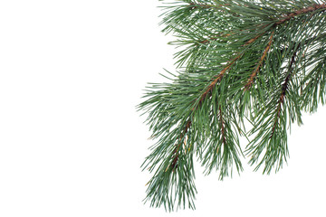 Green spruce branch, pine trees on background for text