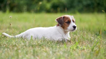 Szczeniak rasowy jack russell terrier na polanie w trawie.