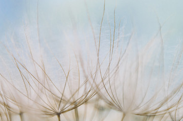 Close-up of the Seed Head of a Salsify Plant