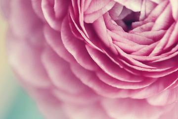 Pink ranunculus flower bloom macro