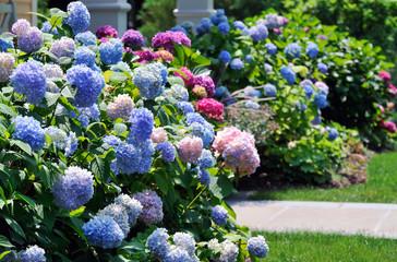 Zelfklevend Fotobehang Hydrangea Hydrangeas Flowers In Blue, Pink And Purple Blooming In The Garden