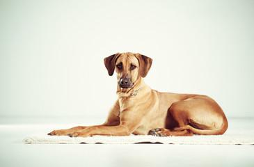 Cute pedigreed dog resting on a carpet indoors.