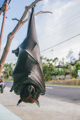 Fruit bat or flying fox (Pteropus vampyrus) hanging of a branch