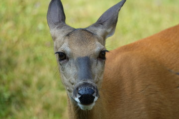 American White-Tailed Deer