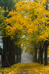 nature in autumn. the trees stand in a row , the prospect in the frame. alley in the Park . Misty morning.