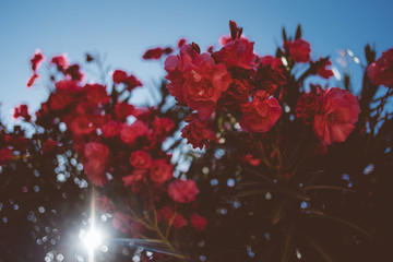 Beautiful red flowers wit the sun behind