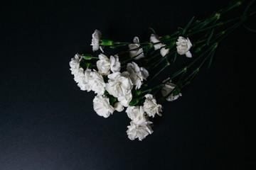 white carnation flower bloom on dark background