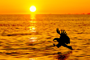 Bald eagle silhouette catching fish at sunset in Alaska