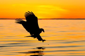 Bald eagle fishing at sunset in Alaska