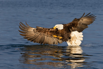 Bald eagle fishing with wings spread out in Alaska