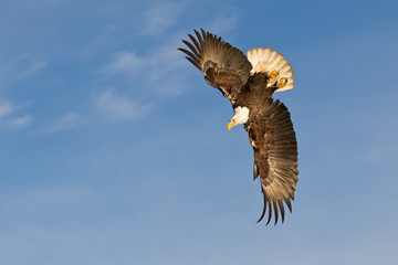 Bald eagle flying and banking with blue sky in Alaska