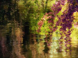 Cherry Blossoms over a Pond