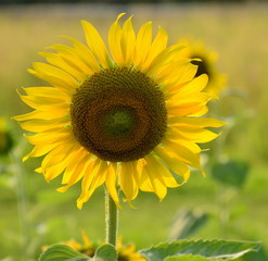Close-up of sunflower in the field with morning sunlight,natural concept.