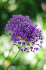 Allium with boken