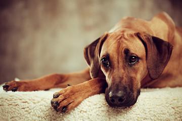 Cute pedigreed dog resting indoors.