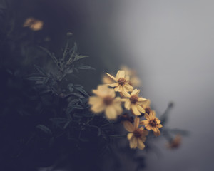 Yellow daisies against a grey background