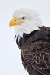 Bald eagle head portrait in the snow in Alaska