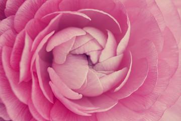 Macro of pink ranunculus flower bloom