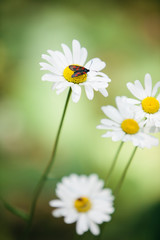 Close-up of bug sitting on beautiful white daisy flower